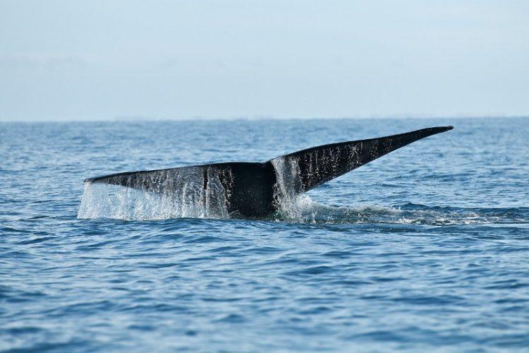 ВИДЕО: Китови долги 12 метри снимени крај Ровињ