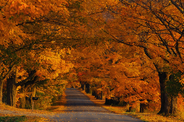 October 1997, Westfield, Vermont, USA --- Autumn Leaves and Trees in Vermont --- Image by © Michael S. Yamashita/CORBIS