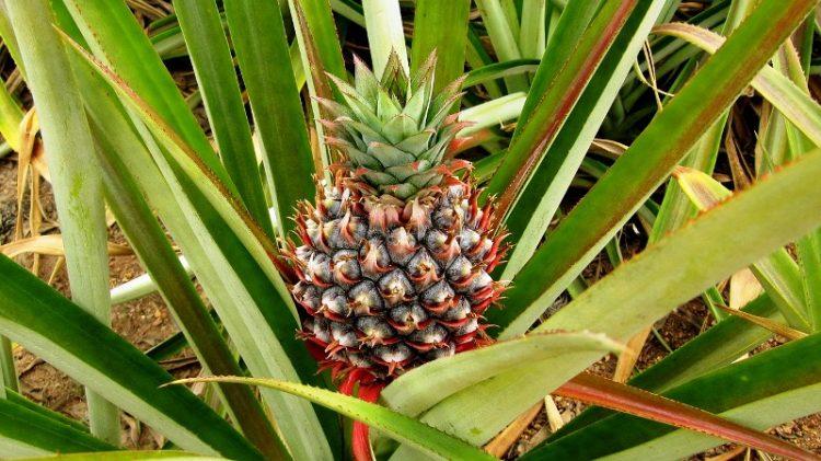 ВИДЕО: Како да засадите ананас дома – многу едноставно