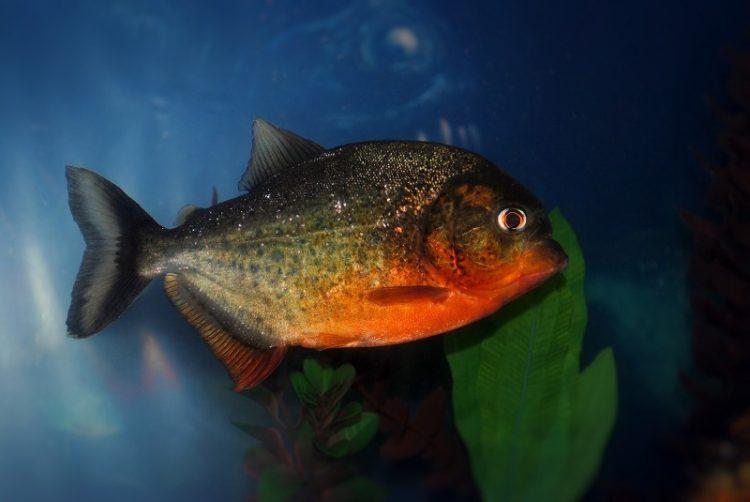 Со што се хранат црвените аквариумски пирани?
