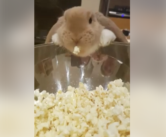 ВИДЕО: Најслаткото видео на Интернет – ова зајче обожава пуканки