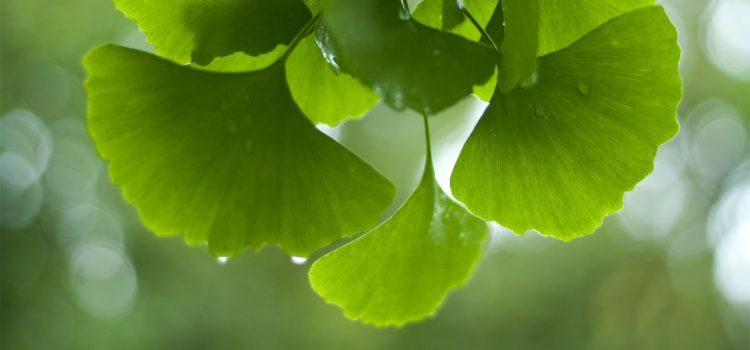 Гинко Билоба – најстарата и најлековита билка на светот